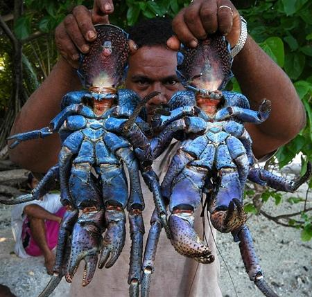 Crabe cocotier.jpeg